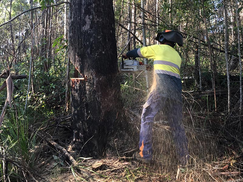 Treelopper using Chainsaw
